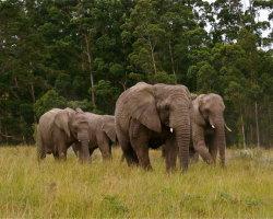 Elephants, South Africa 2136