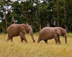 Elephants, South Africa 2139