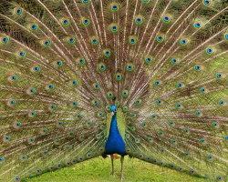 Strutting Peacock 3267