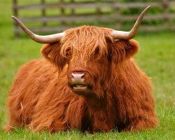 Highland cow 5490