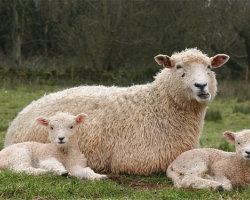 Sheep - a family portrait! 6623