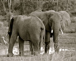 Elephants, Kenya 0333