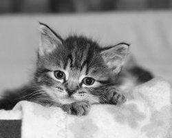 Kitten on a Blanket 3836a