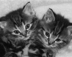Kittens 3832a