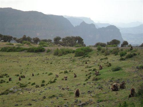 Geladas grazing near the escarpment rim