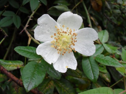 Abyssinian Rose