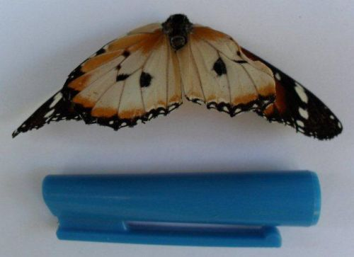 Danainae butterfly (rear wings pulled up)