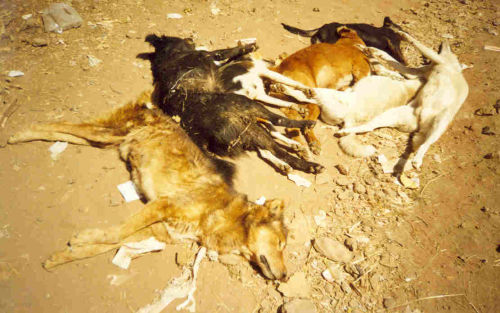 city dogs poisoned by Gondar's Public Health Department because of fear of rabies