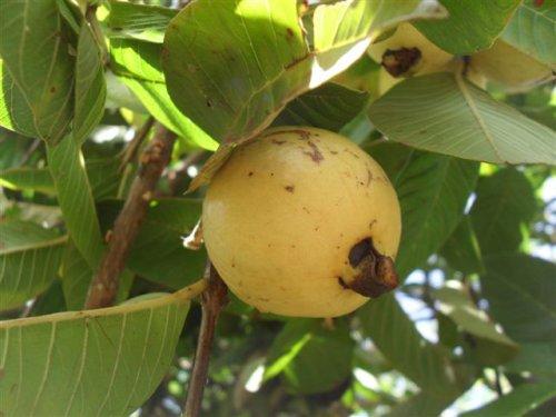 a ripe apple guava