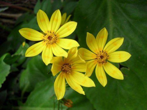 Meskel daisies