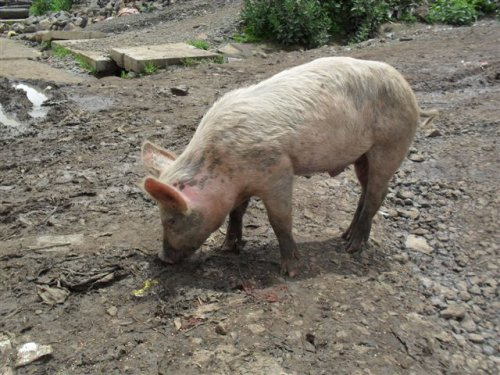 pig for town centre cleansing