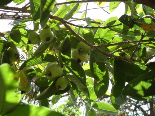 unripe guavas