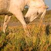 Camargue horse takes a bow