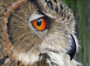 Acrylic Portrait of Eagle Owl