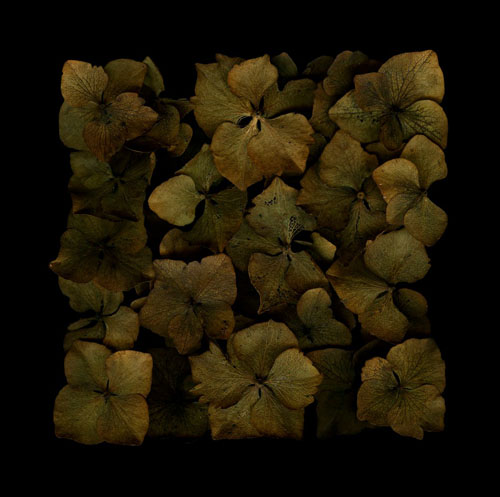 Hydrangea NO1, Arranged, 2011