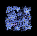 Forget-me-not Summer, 2011