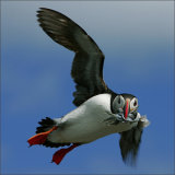 May Puffin In Flight