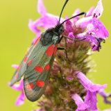 Six Spot Burnett Moth