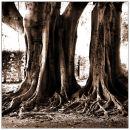 Banyan Tree, Gasparilla Island, Florida