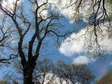 Trees at Blackbury Castle, near Branscombe, Devon
