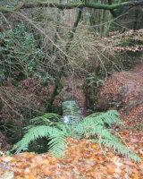 Woodland fern, Harpford Woods
