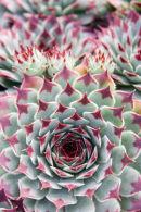 Succulent Rosette 3