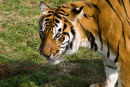 Wildlife Heritage Foundation Tiger