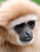 An66 White Gibbon Portrait