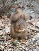 An68 Red Squirrel