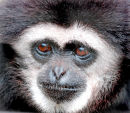 An6 Black Gibbon Portrait