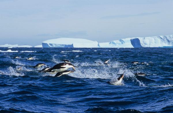 Fleeing Penguins