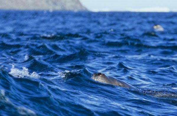 Patrolling Leopard Seal