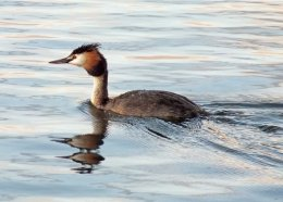 Gold Crested Grebe