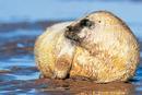 Grey Seal, pup.