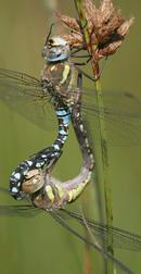... Dragonflies, mating.