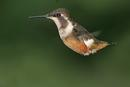 Purple-throated Woodstar, hummingbird