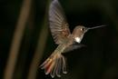 Brown Inca, hummingbird
