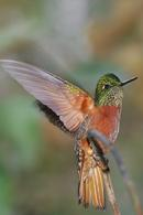 Chesnut-breasted Coronet, hummingbird