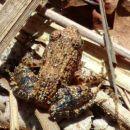 Frog sp, Ranomafana