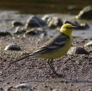 Citrine Wagtail, male.