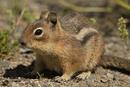 Cascade Golden-mantled Ground Squirrel (Spermophilus saturatus)