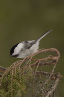 Northern race of Willow Tit