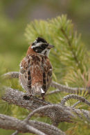 Rustic Bunting, male in summer plumage.