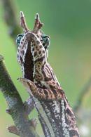 chameleon sp