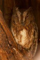 Torotoroka Scops Owl