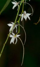 Orchid sp