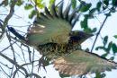 Madagascar Cuckoo-Roller, female