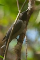 Madagascar Cuckoo Shrike