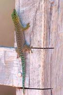 Gecko sp, Zombitse