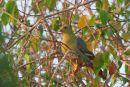 Madagascar Green Pigeon